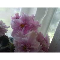 Фиалка розовая с СУПЕР крупными цветками (до 6 см в диаметре), махровая, цветение очень обильное