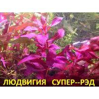 АКВАРИУМНЫЕ РАСТЕНИЯ: Людвигия СУПЕР-РЭД. НАБОРЫ растений для запуска. ПОЧТОЙ и МАРШРУТКОЙ отправлю.