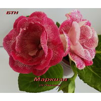 Глоксиния Маркиза(Н.Павлюк)-лист