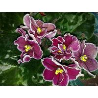 Фиалка Cherries'n'Cream от Sorano цвета спелой вишни с белым ободком по краю лепестков, цветы махровые, крупные, цветение продолжительное - свежесрезанный листок