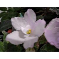 Комнатные цветы сенполии, узамбарские фиалки