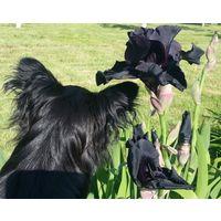 Чёрный ирис роскошный цвет новинка в ваш сад