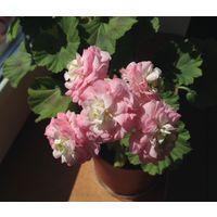 Герань бело-розовая