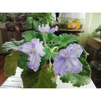 Фиалки сортовые --взрослое растение.