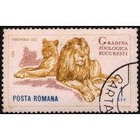 Кошки. Румыния. 1964. Львы. Марка из серии. Гаш.