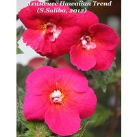 Ахименес Hawaiian Trend (S.Saliba, 2012)