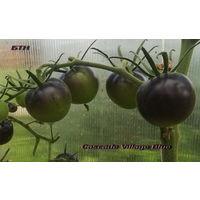 Семена томата Cascade Village Blue