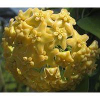 Хойя Hoya  kenejiana yellow
