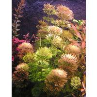 Аквариумные растения Лимнофила сидячецветковая (Limnophila sessiliflora)