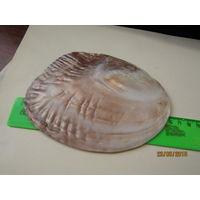 Перламутровая створка раковины-жемчужницы с приросшими жемчужинами.(2)