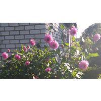 Георгины розовые, филетовые, желтые в ассортименте
