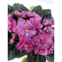 Фиалка ЛЕ Персиковое сияние - молодое растение