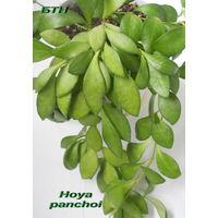 Хойя Hoya panchoi
