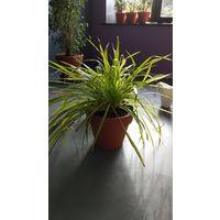 Хлорофитум растения цветочный горшок