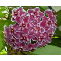 Хойя Hoya pubicalyx var.Silver Pink