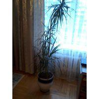 Драцена взрослая. Красивое и здоровое растение, высота как минимум 1.5 метра. (снизу есть маленькая драценка, ее не продаю, оставлю себе пока не вырастет). Качественный и дорогой горшок.