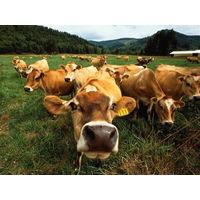 Курсовая - Рентабельность производства продукции животноводства и пути ее повышения - Экономика организаций АПК