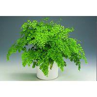 Растение Адиантум (венерин волос) - в горшке (большое)