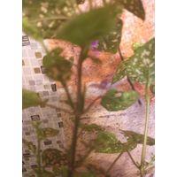 Лиана, цветет сиреневыми цветочками, в горшке с корнями