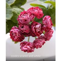 Пеларгония cook's scarlet and white