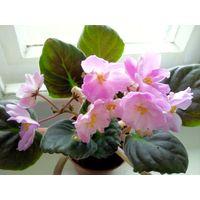 Фиалка Hawaiian Pearl (св. лист)