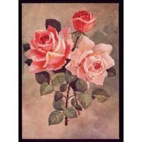 1954 год И.Романов Розы чист