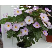 Ахименес Sugarland (S.Saliba, 2010)