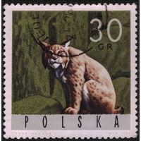 Кошки. Польша 1965. Рысь. Марка из серии. Гаш.