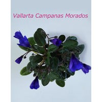 Фиалка Vallarta Campanas Morados  полумини - св. лист