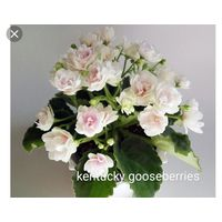 Фиалка kentucky gooseberries, детка